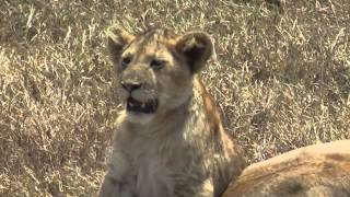 Leopard Tours And Lion Travel In Ngorongoro And Serengeti