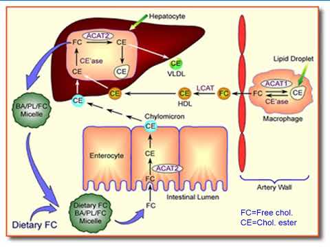 Plasma Lipids and Lipoproteins