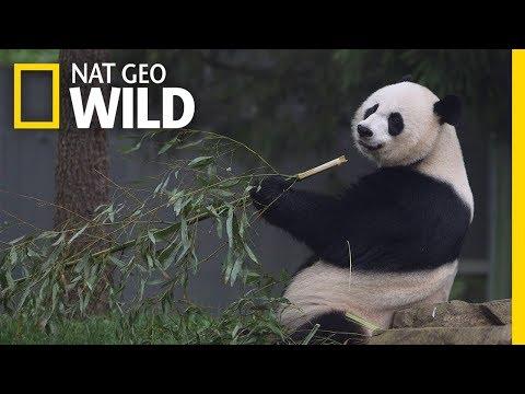 Giant Pandas 101 | Nat Geo Wild (видео)