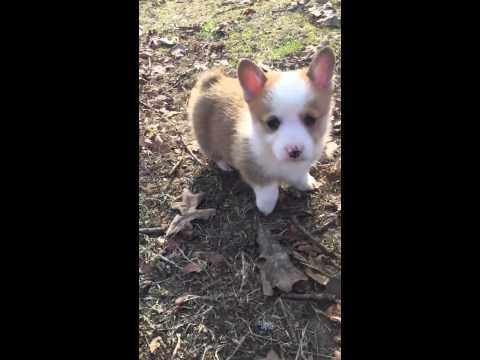 AKC Male Corgi Pup red and white