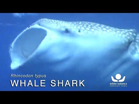 Walvishaaienonderzoek