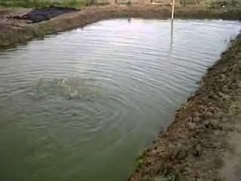 Cachamas en estanques videos videos relacionados con for Tanques para cachamas