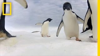Adélie Penguin Numbers Have Marched Upward—But Should We Be Happy? | National Geographic