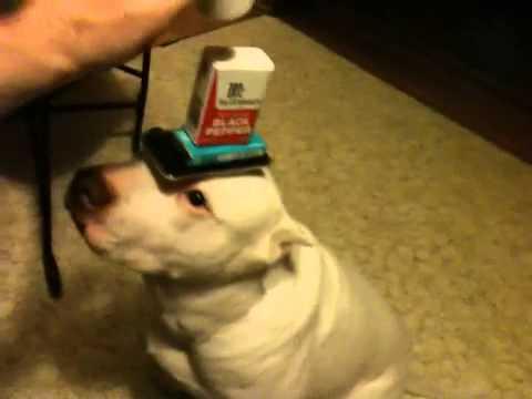 My dog Balancing Things on his Head!