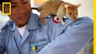 These Huge Rats Can Sniff Out Land Mines | National Geographic