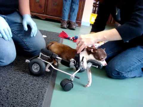 Gus, teacup chihuahua, in Eddie's Wheels quad dog wheelchair