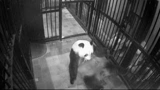 Un zoológico japonés celebró el primer nacimiento de un panda en cinco años, un cachorro tan pequeño que cabe en la palma de una mano.