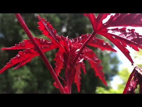 Maple Leaf Hibiscus = Japanese Maple Hibiscus = Hibiscus Acetosella