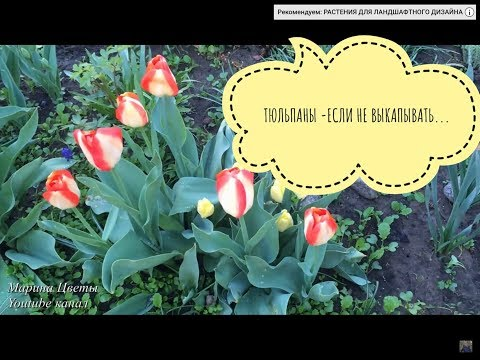 Тюльпаны . Что будет если НЕ ВЫКАПЫВАТЬ  - DomaVideo.Ru