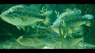 Largemouth BASS in the GRASS