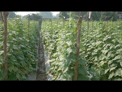 Cucumber / Pipino Growing. The secret money earner.