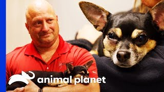 Missy The Chihuahua Gets Her Fractured Tooth Removed | The Vet Life by Animal Planet