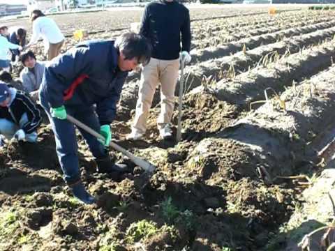 海老芋掘り体験