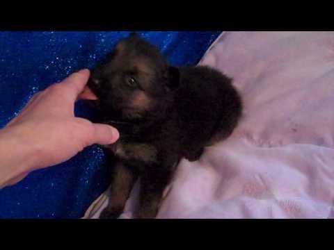 Carolinas Miss Fairy Dust Black and Tan Female Puppy