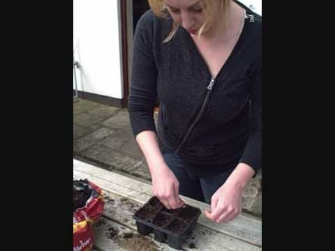 Sowing Calendula seeds