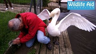 Great Man Saves Young Little Swan!