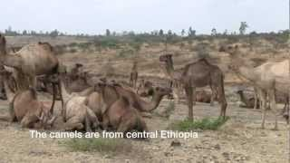 A Chance Encounter With Camels