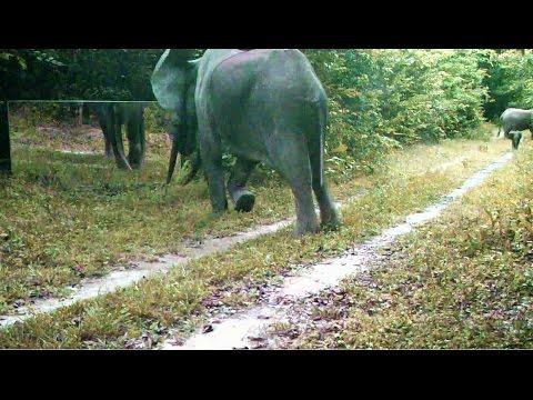 elephant VS mirror its reflection stirs up its libido – éléphant son reflet miroir éveille sa libido (видео)