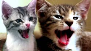 Maybe You Haven't Known About The Real Sound Of Cats Yawning :))