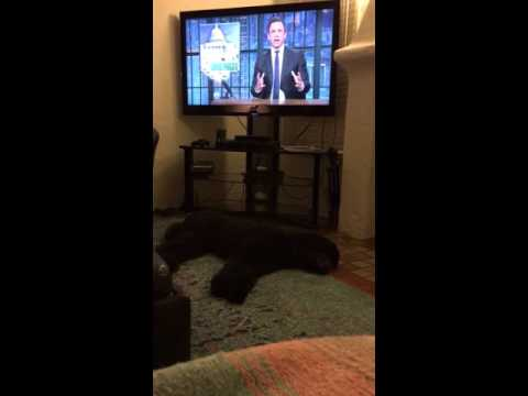 Dog sprints to bed every night when the TV goes off