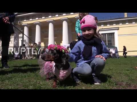 Russia: Dachshunds dress up as sailors to celebrate anniversary of St. Petersburg's founding