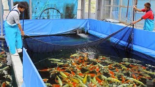 Video What is it like to buy koi in Japan? MP3, 3GP, MP4, WEBM, AVI, FLV Agustus 2019