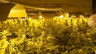 Policja zlikwidowała dwupoziomową plantację marihuany z 2,5 tysiącami krzewów konopi!