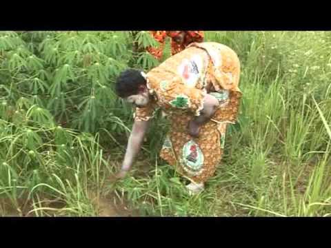 Sucess story les Femmes productrices de manioc en Côte d'Ivoire