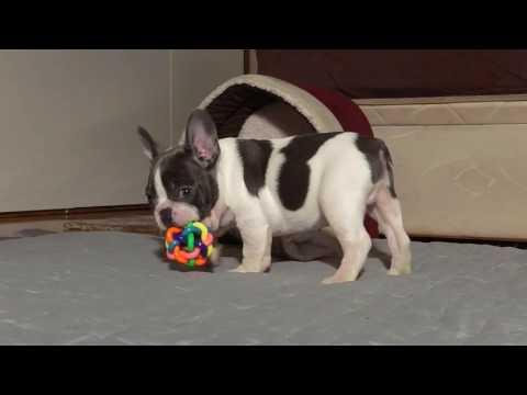 Pinto Blue Pied French Bulldog