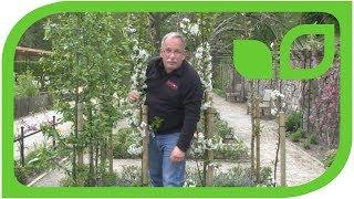 Die Säulensauerkirsche Fruttini® Jachim für den kleinen Garten