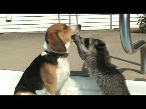 愛吃的浣熊