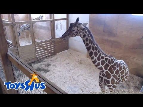 Animal Adventure Park's April the Giraffe - Live Birth - Archive footage