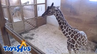 Animal Adventure Park's April the Giraffe - Live Birth - Archive footage