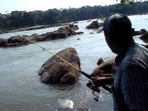 pirapitinga,rio madeira  rondonia