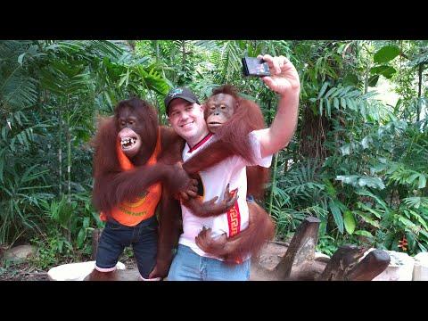 Nämä orangit osaavat esiintymisen