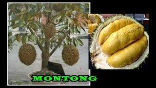 Video # TIS # BIKIN Durian Montong Kerdil Cepat Buah&Lebat Buah dlm Pot|Tanam,Rawat,Pupuk| MP3, 3GP, MP4, WEBM, AVI, FLV September 2018