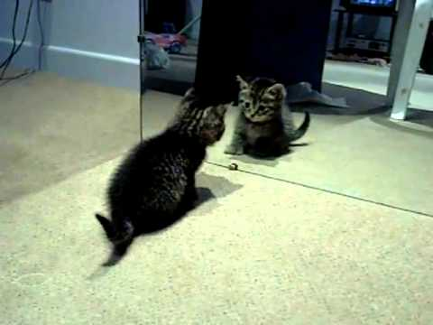 ? Cute Crazy Kitten Vs Mirror