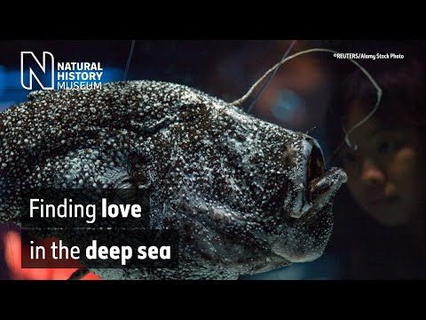 The bizarre love life of the anglerfish