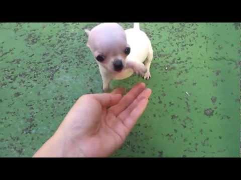 Teacup Chihuahua  modeldog