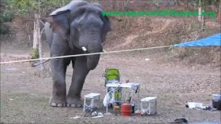 wild elephant drinks whiskey
