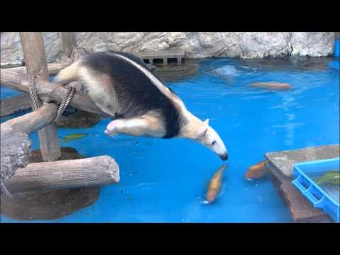 Anteater goes to great length to reach leaves meant for ducks at an aquarium