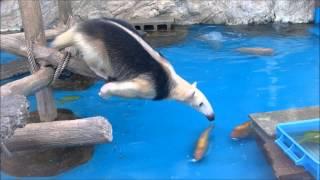 Mrówkojad bardzo chce plastikową skrzynkę, ale też bardzo nie chce wpaść do wody :D