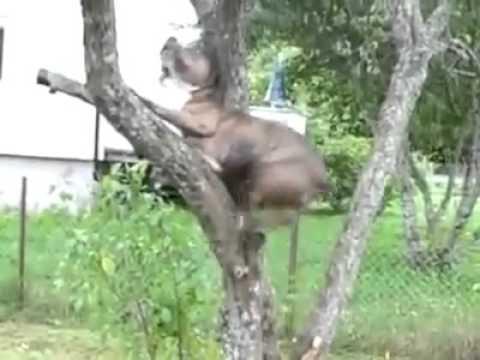 大狗爬細樹,堅持自己的球自己撿,過程看得我直冒冷汗啊