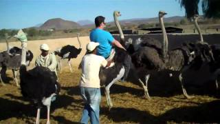 Oudtshoorn South Africa  City new picture : Ostrich Riding in Oudtshoorn South Africa