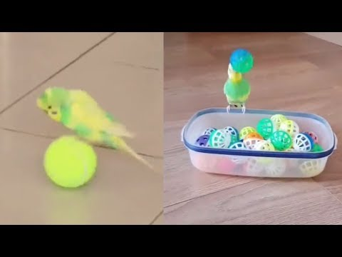 Adorable Budgie Compilation Video