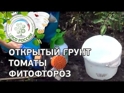 Как бороться с фитофторой на томатах. Обработка томатов от фитофтороза.