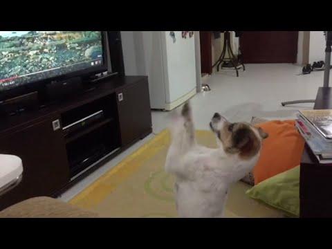 Koira meinaa hermostua kun kappale loppuu
