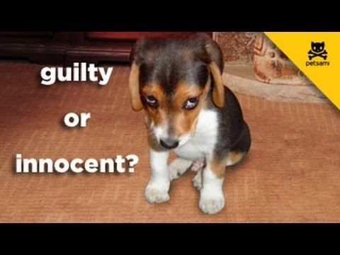 guilty - A dog is questioned when her owner comes home and sees that his bed sheets were ruined. The dog hides in the shower and looks more than guilty! For more hila...