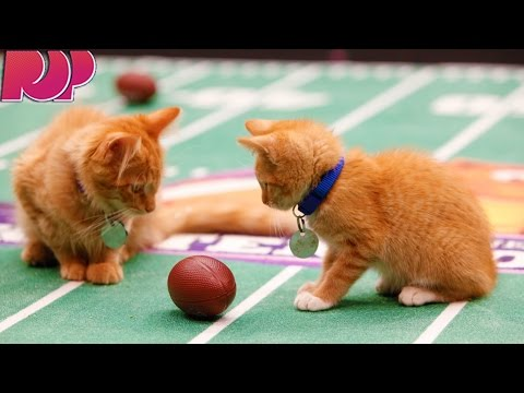 Everything You Need To Know About The Kitten Bowl and Puppy Bowl!