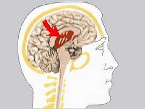 dizzo95 - How the Body Works The Limbic System The limbic system, a paired structure, is concerned with memory and emotions. The striped area shows the position of tho...